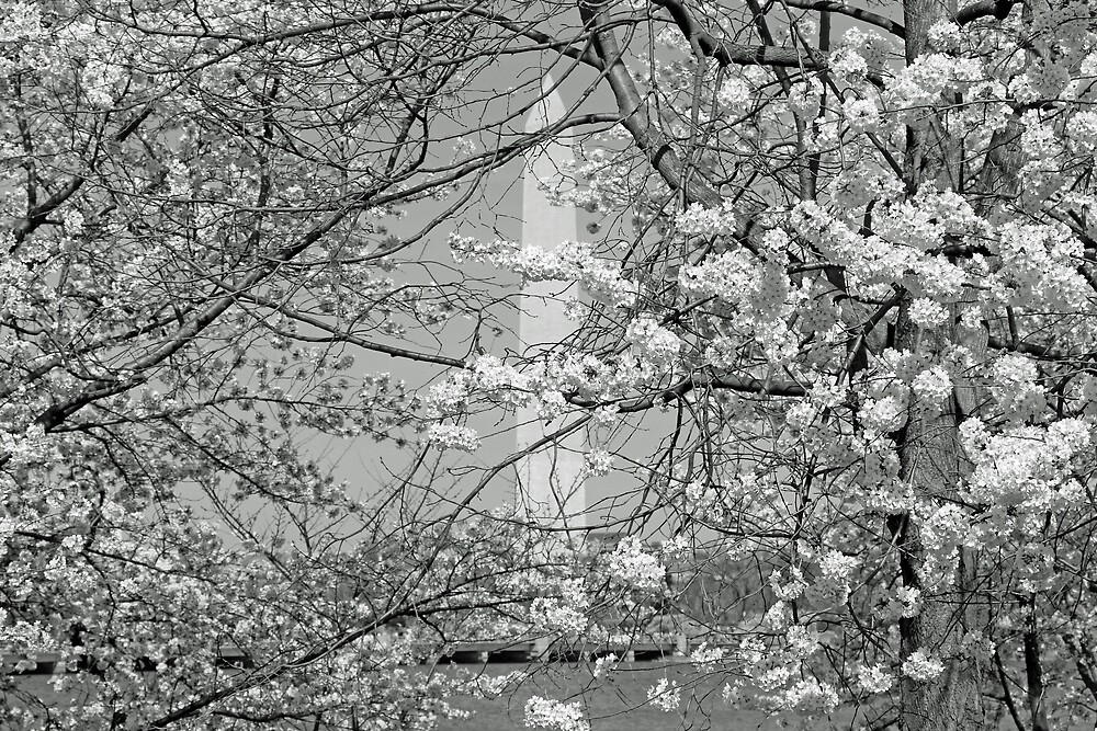 Colorless Cherry Blossoms And Washington Monument by Cora Wandel