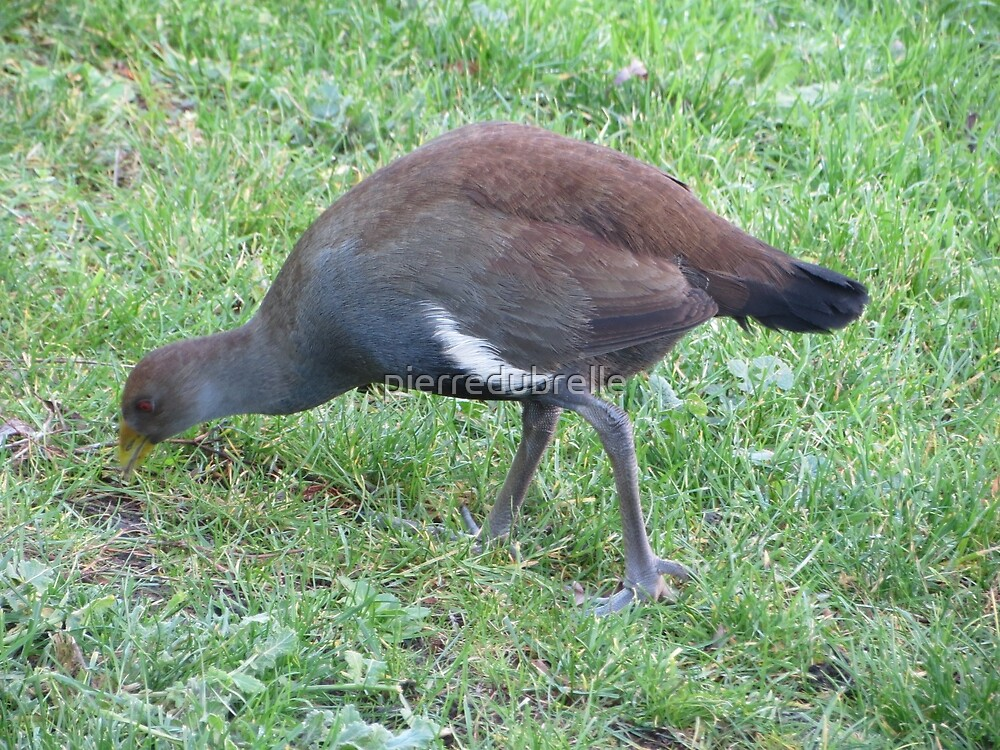 Tasmanian Native Hen by pierredubrelle