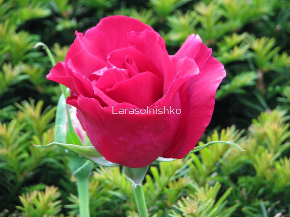 The Rose of Battle by Larasolnishko