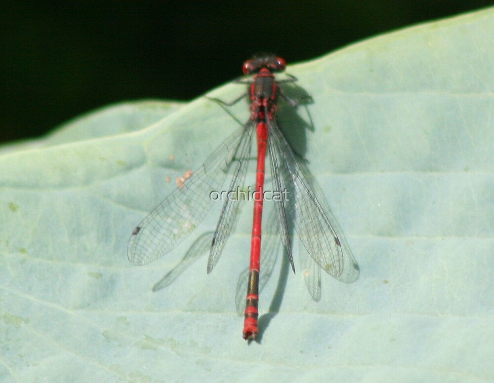 Damselfly by orchidcat