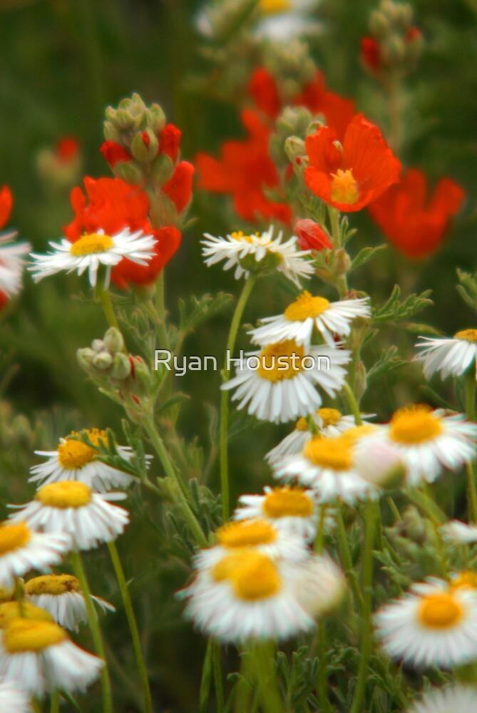 Cutleaf Daisies - Wildflowers by Ryan Houston