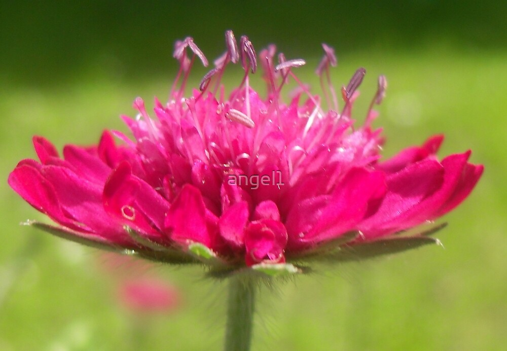 Scabiosa ~ Greater Knapweed by ©The Creative  Minds