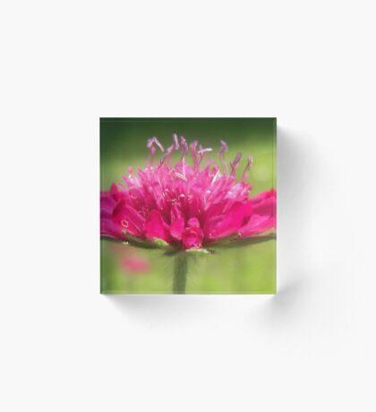 Scabiosa ~ Greater Knapweed Acrylic Block