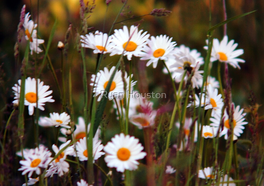 Daisies in the Grass by Ryan Houston