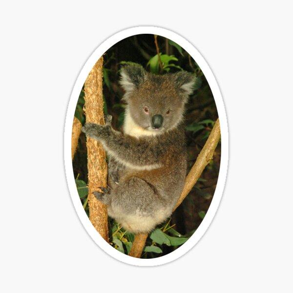 Koala in tree Sticker