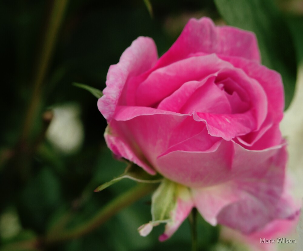 Pink Rose by Mark Wilson