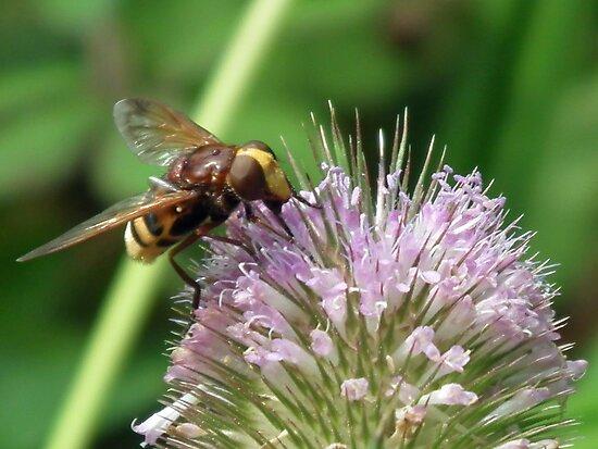 Volucella zonaria... Hornet Hoverfly...... Lyme Dorset UK by lynn carter