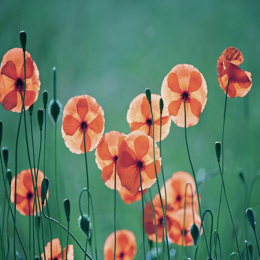 Poppies by SoGirly