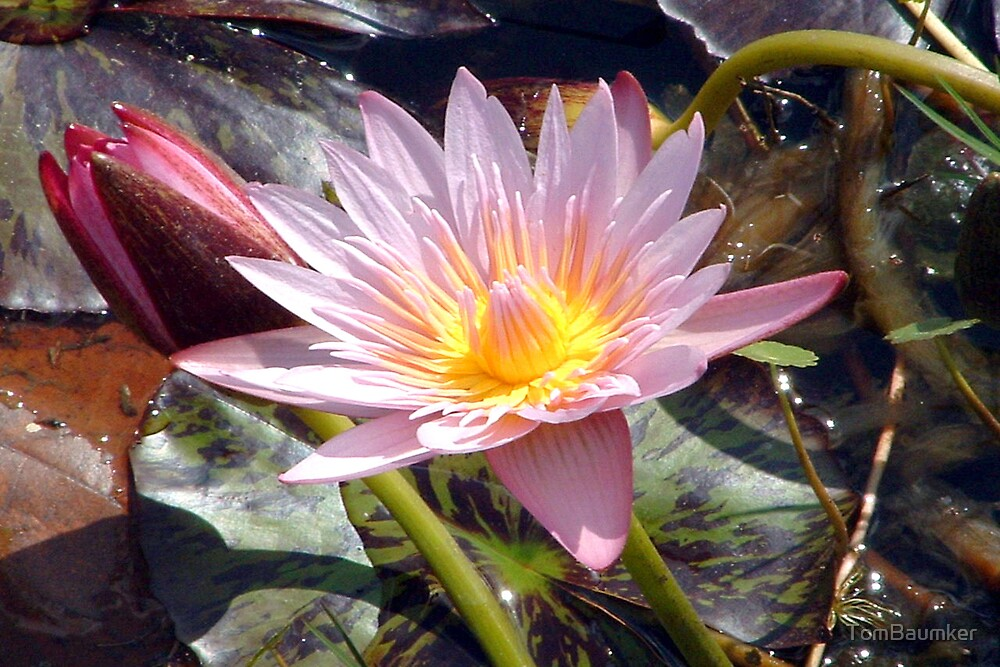 WATER LILLY by TomBaumker