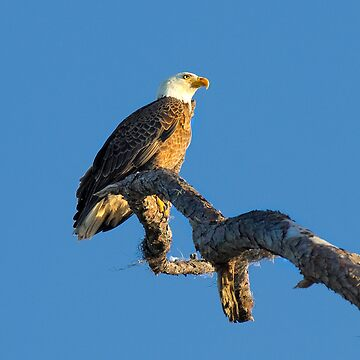 Bald Eagle by ivoire