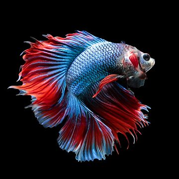 Betta splenden (siamese fighting fish) Halfmoon by NessFlett