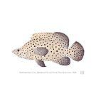 Barramundi Cod (Cromileptes altivelis)  by StickFigureFish