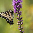 Eastern Tiger Swallowtail 2017-1 by Thomas Young