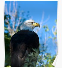 bald eagle watching Poster