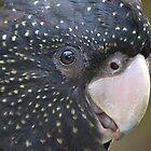Black Cockatoo- up close by lizdomett