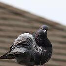 Angry Pigeon by Pandamatastic