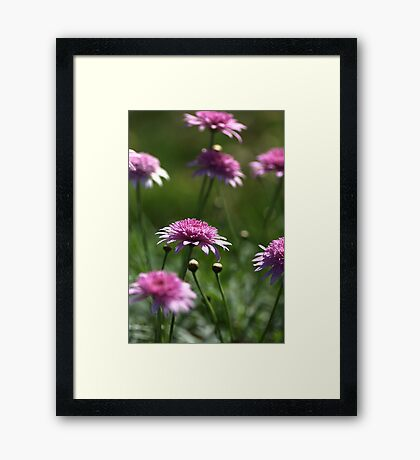 Federation Daisies  Framed Print