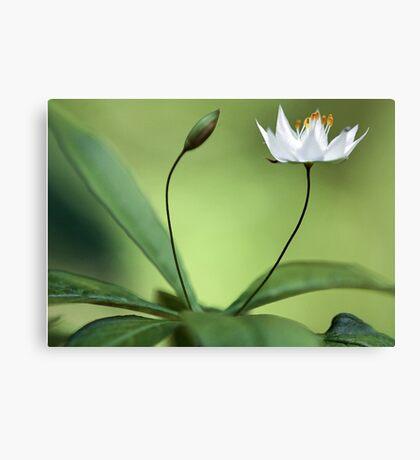 Starflower With New Bud Canvas Print