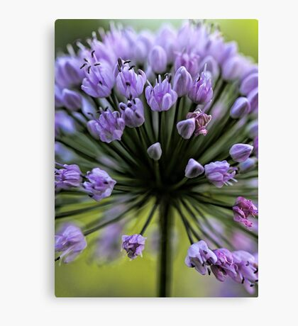Wonderful Allium Blossom Canvas Print