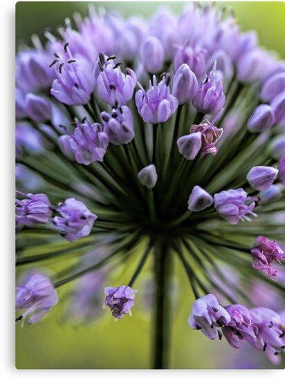 Wonderful Allium Blossom by T.J. Martin
