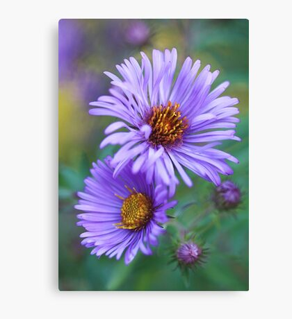 New England Fall Aster Canvas Print