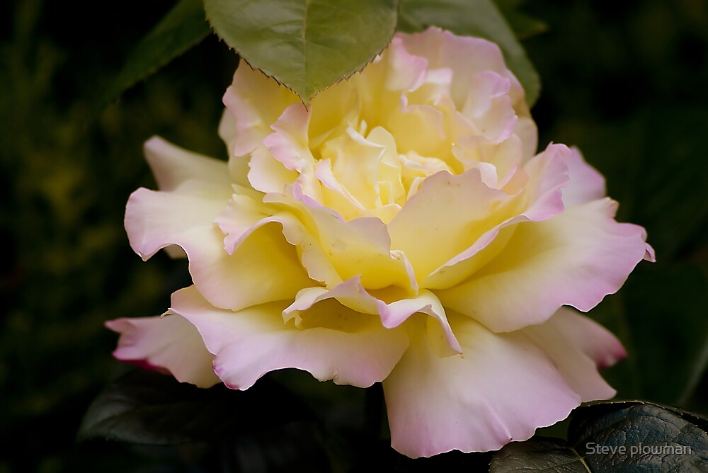 Yellow and pink by Steve plowman