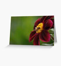 Crimson Dahlia  - Swan Island, Oregon Greeting Card