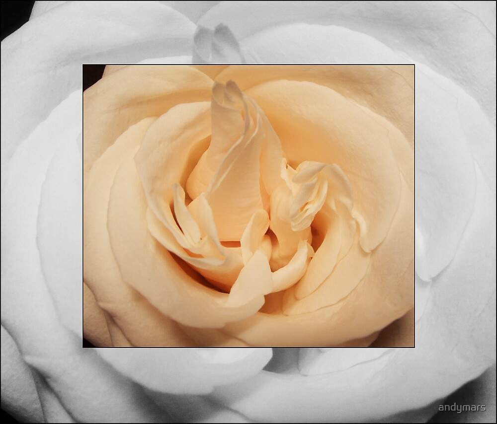b&w and sepia rose  by andymars