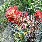 Indian Paintbrush by Dianna