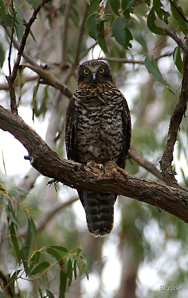 Female Powerful Owl by Biggzie