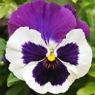 Pansy by HEIDI  HORVATH