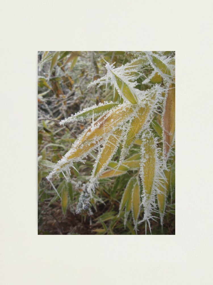 Alternate view of winter bamboo Photographic Print