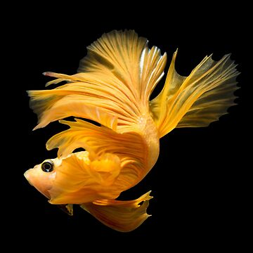 Yellow betta splenden - halfmoon  fighting fish by NessFlett