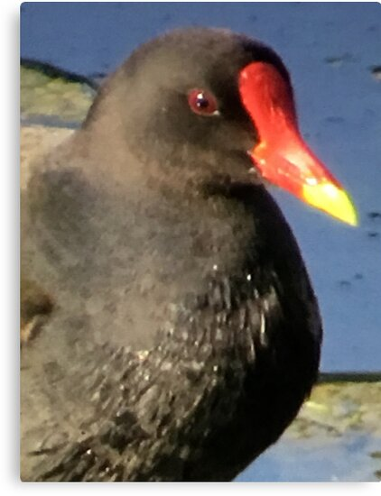 Bigger Version of a Moorhen by Mrs Foxy