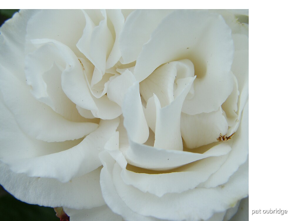 Pure White Rose by pat oubridge