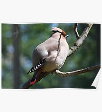 Exotica......     (Waxwing) Poster