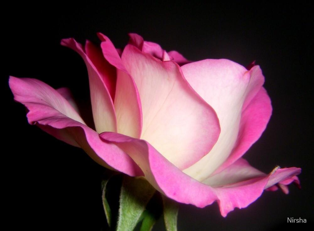 Rose Rose by Nirsha