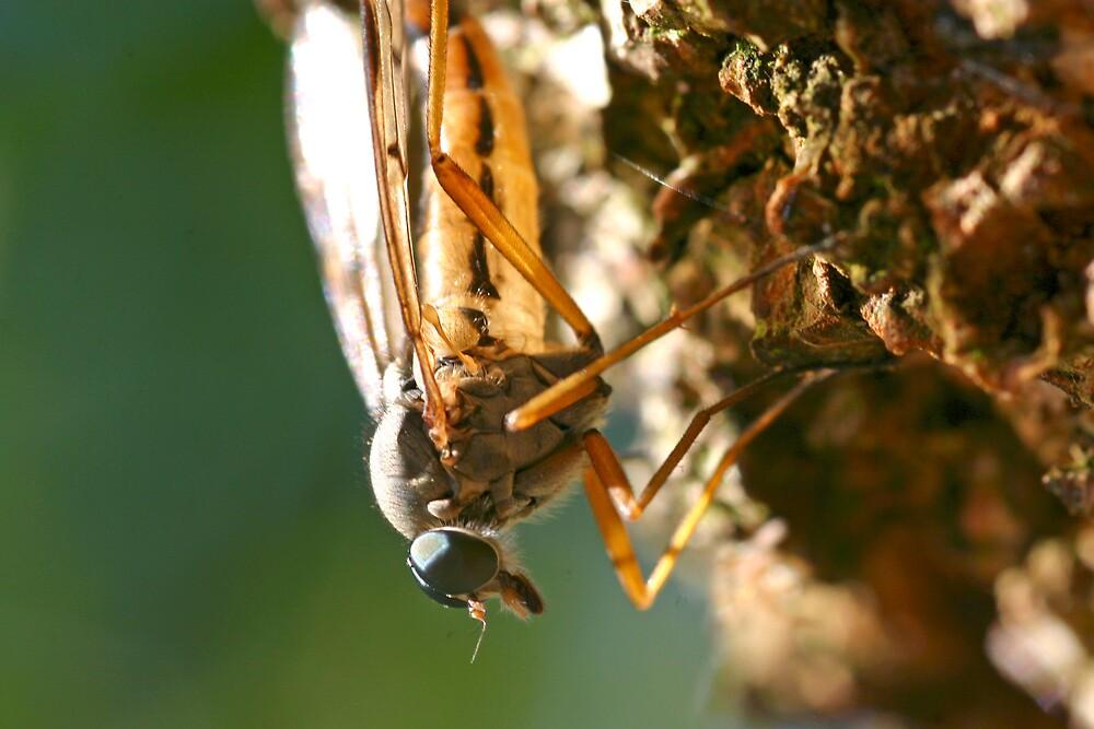 Mayfly Closeup by Fabio Passaro