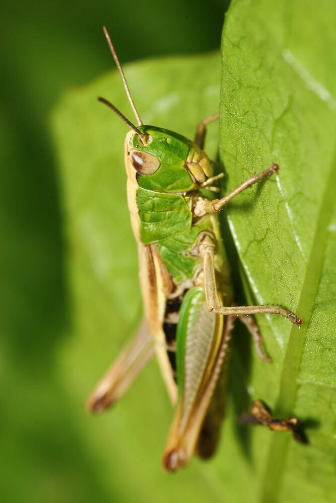 Grasshopper by Fabio Passaro