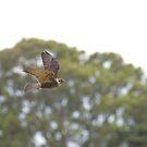 Brown Falcon by Biggzie