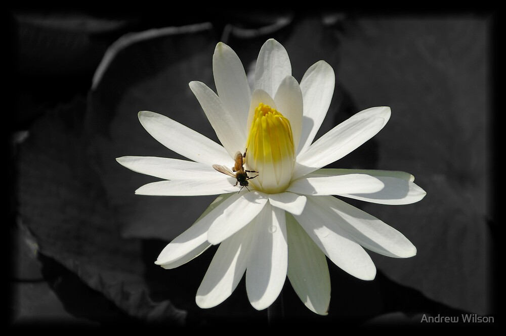 White lily by Andrew Wilson