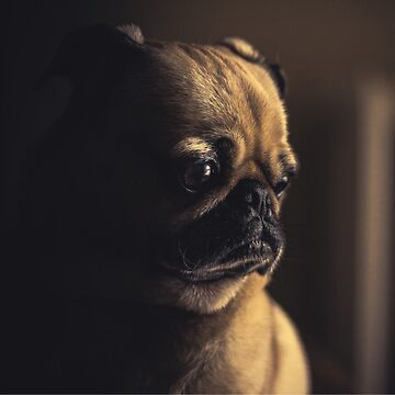 Peggie the Pug ii by dogobsession