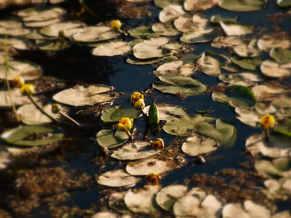 lilly pad by Jason LeRue