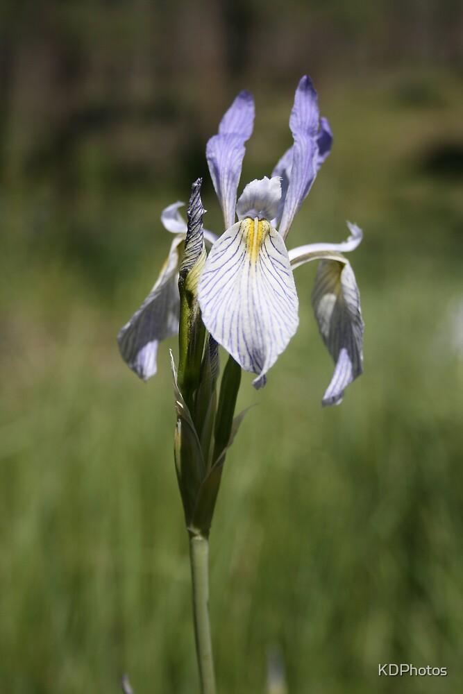 Wild Iris by KDPhotos