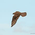 Brown Falcon (378) by Emmy Silvius