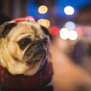 Peggie the Pug iv by dogobsession