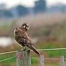 Brown Falcon (594) by Emmy Silvius