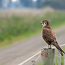Brown Falcon (614) by Emmy Silvius