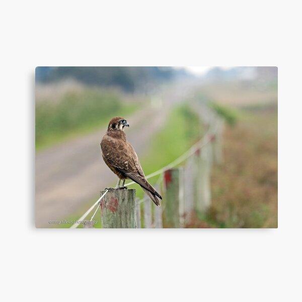 Brown Falcon (618) Metal Print