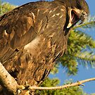 Baby Eagle by David Friederich